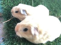 Pedigree Californian Guinea Pigs Pair