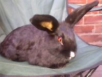 LOVELY FRIENDLY FEMALE RABBIT ABOUT 5 MONTHS OLD