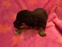 Jackapoo puppy's forsale