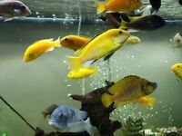 Yellow Labs Tropical African Malawi Cichlids
