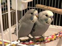 Beautiful baby budgies with cage