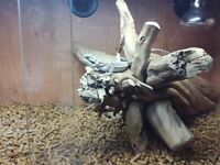 Baby bearded dragon with set up