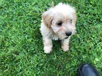 Beautiful snoodle puppies for sale