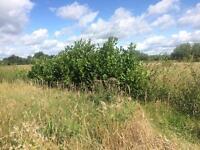 7ft bushy hedging laurels only £49