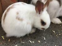 Pet bunnies for sale