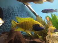 Peacock cichlid fish