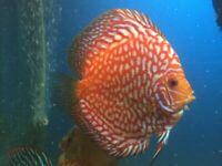 Tropical Discus live fish, Arowana , Altum Angels community aquarium tank fish
