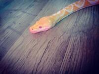 Retic python dwarf