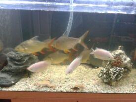 TINOBARB fish