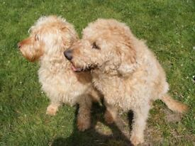 Labradoodle F3 Puppies