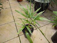 Trachycarpus Fortunei Hardy Palm Tree