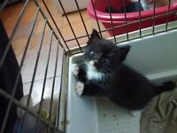 Kittens , one male left