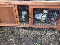 Boys fluffy white guinea pigs for sale with cage (3boys)