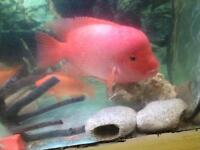 "Male 12"" red devil cichlid"