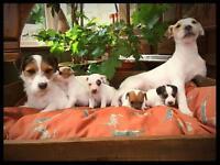 Stunning parson Russell terrier puppies