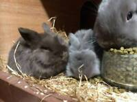 2 mini lop rabbits for sale