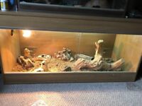Blood red bearded dragon and 4ft viv