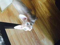 Male sphynx a vendre