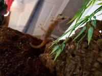 Pair of golden geckos