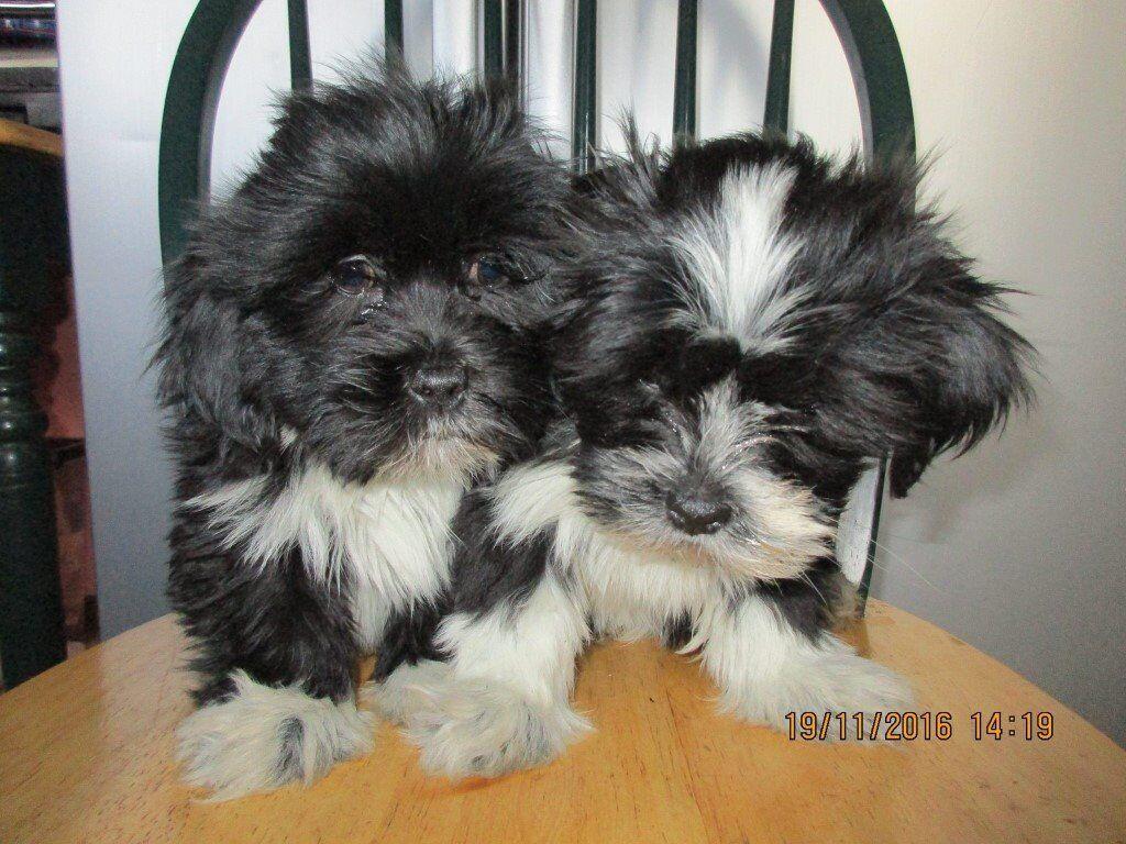 Shih Tzu Cross Lhasa Apso Pups For Sale In Coleraine County