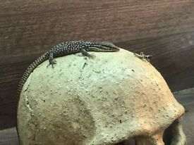 Lizard Ackie/Dwarf Monitors