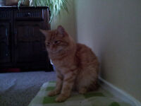Male ginger cat to good home