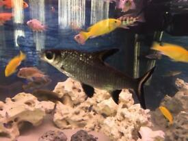 5 Fishes - Large Bala Shark (Silver Sharks) + 2 Small + 2 Loaches Freshwater Tropical Fish