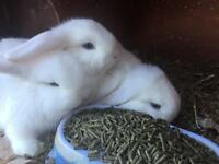 RABBITS/BUNNIES FOR SALE