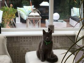 Lost British Shorthaired Blue/Grey Cat Demi - lost on Thursday 13/4/17