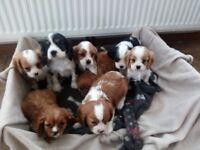 Beautiful Cavalier King Charles Puppies