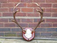 Mounted Scottish Highlands red deer antlers, 9 points.