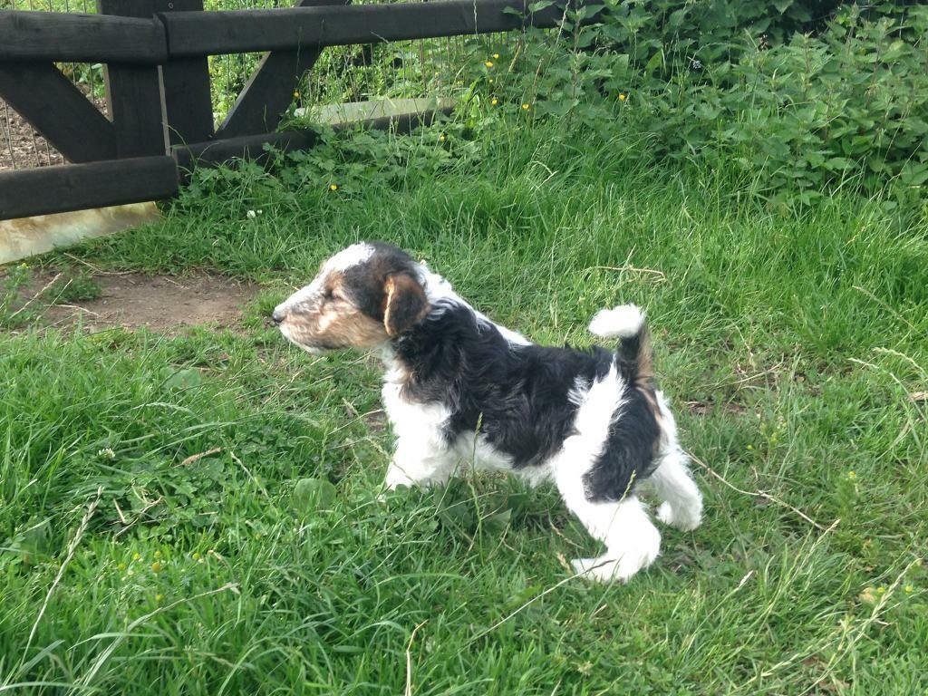 Wire haired Fox Terrier male pup   in Castlewellan, County Down ...