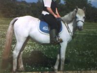 13.3hh Riding mare