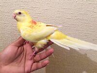 Beautiful baby Yellow Latino Red Rump Parrot