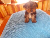 beutiful yorkshire terrier puppy male 8 weeks old