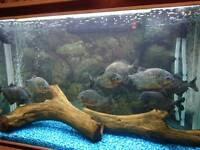 Monster piranha shoal