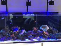 Marine fish, tang, livestock, corals, live rock, clean up crew, shrimp, urchin, starfish