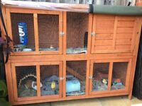 Two male guinea pigs with hutch
