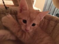 Three boys and one girl beautiful ginger kittens will be ready to new home in 2 weeks