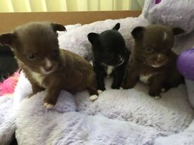3Chihuahua puppies for sale ready 30th April fully vaccinated