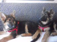 2 german shepherd dogs