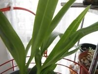 Houseplant-orchid plants in a 13 cm grey plastic pot