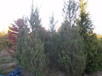 very large juniper virginia skyrocket upto 12ft high,