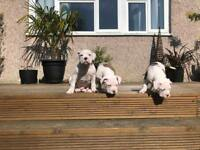Alapaha blue blood bulldog puppies