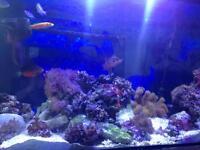 Berghia nudibranch marine fish tank aquarium