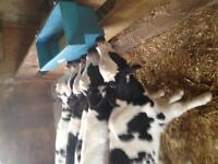 Bull calves for sale milk fed