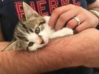 Cute 9 weeks old kitten