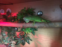 Green iguana! Tanks Comes with everything