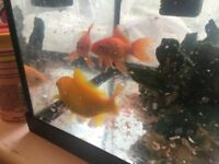 2 Goldfish looking for good home. Old tank also available.