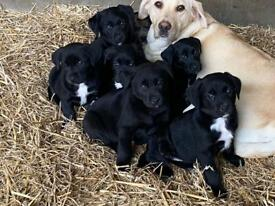 Border Collie x Labrador Puppies